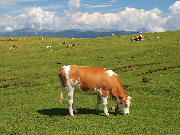 Milk Farm Photograph - Alpine Cow by Goranstimac
