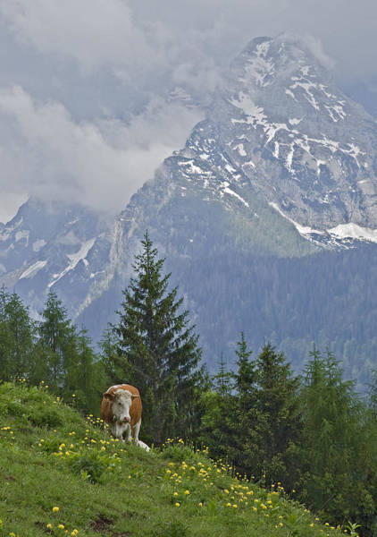 Domestic Animals Photograph - Alpine Cow by Photograph Taken By Nicholas James Mccollum