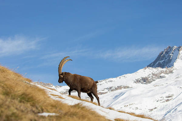 Photograph - Alpine Ibex by Arterra Picture Library