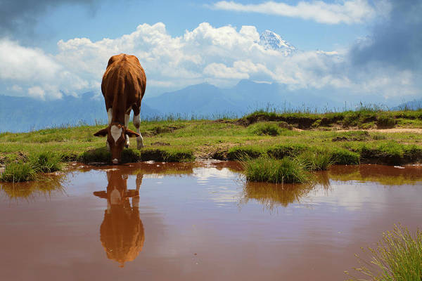 Cow Photograph - Alpine Lake With Drinking Cow by Lucynakoch