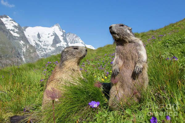Photograph - Alpine Marmot Pair by Arterra Picture Library