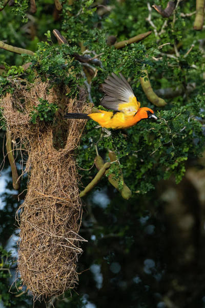 Oriole Photograph - Altamira Oriole A Nest by Larry Ditto