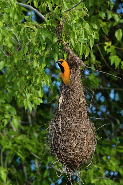 Oriole Photograph - Altamira Oriole Adult Emerging From Nest by Larry Ditto