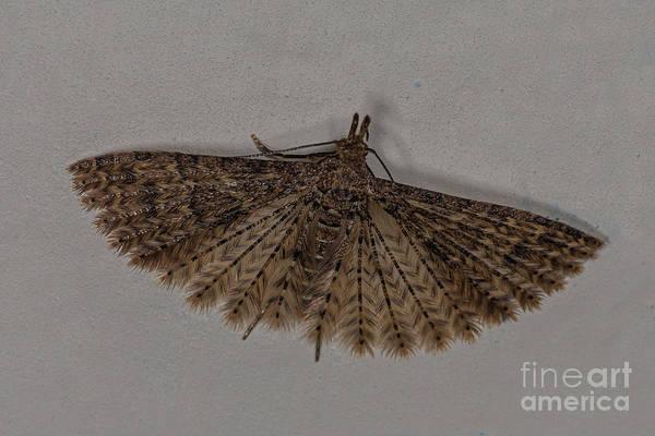 Photograph - Alucita Moth by Brian Roscorla