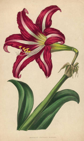 Freshness Digital Art - Amaryllis by Hulton Archive