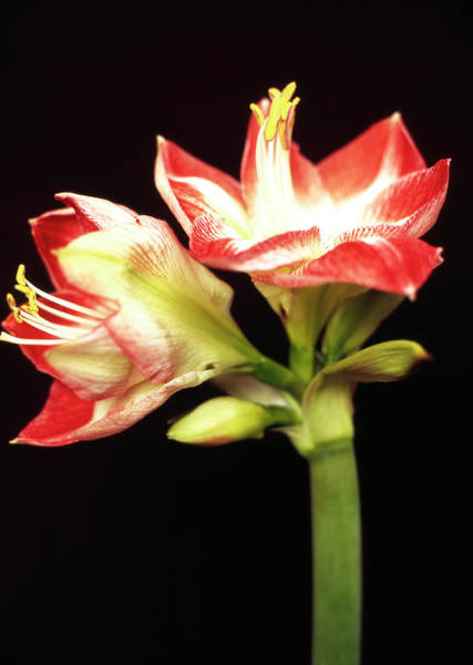 Endurance Wall Art - Photograph - Amaryllis In Red And White by Maike Jessen