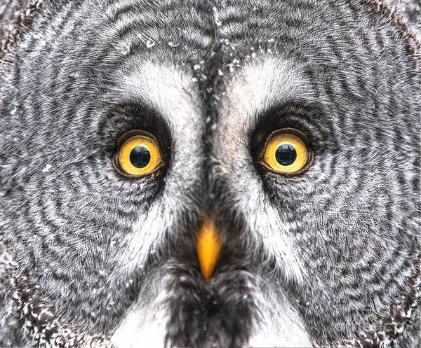 Wall Art - Photograph - Amazed Great Grey Owl Hdr by Pics-xl