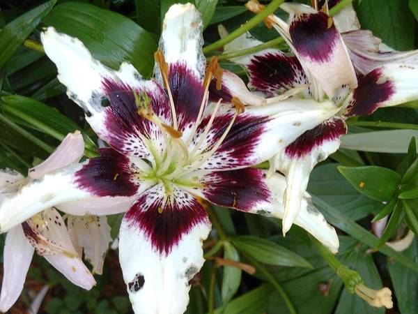 Hurricane Lily Photograph - Amazing Lily by Lord Frederick Lyle Morris - Disabled Veteran