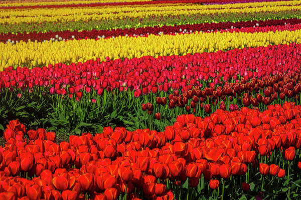 Wall Art - Photograph - Amazing Tulip Fields by Garry Gay