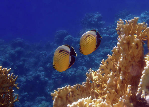 Photograph - Amazingly Beautiful Red Sea Exquisite Butterflyfish  by Johanna Hurmerinta
