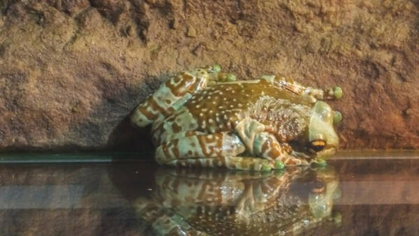 Wall Art - Photograph - Amazon Milk Frog by Art Spectrum