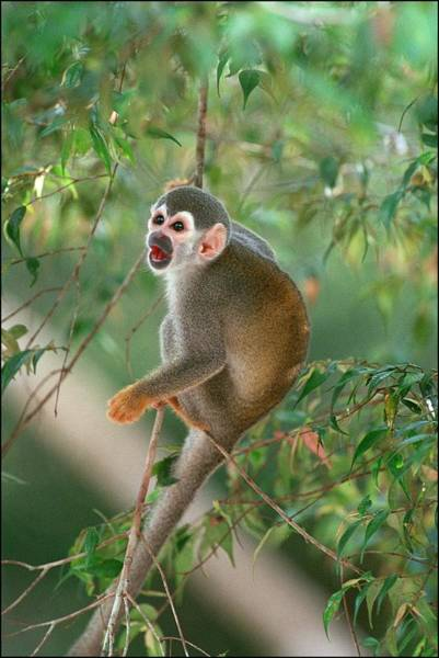 Squirrel Monkey Wall Art - Photograph - Amazon Rain Forest  Despina by Marc Deville