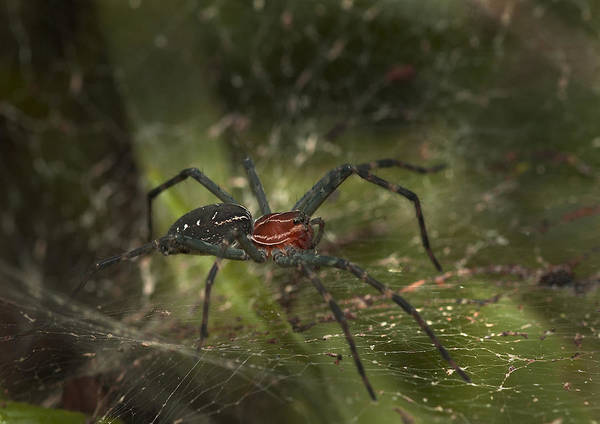 Wall Art - Photograph - Amazonian Spider by Michael Lustbader