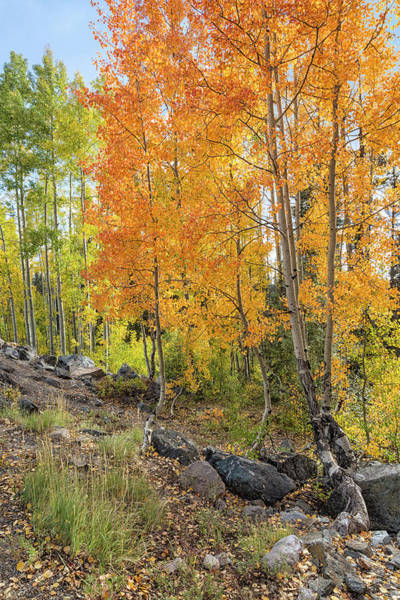 Photograph - Amber Aspens by Denise Bush