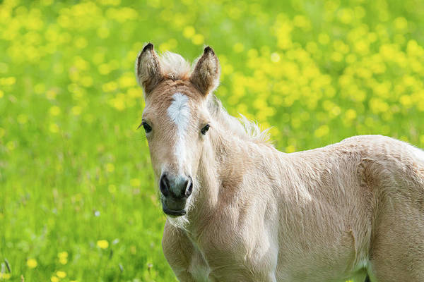 Photograph - Amber Foal Looking Forward by Scott Lyons