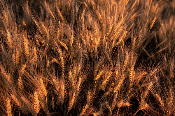 Amber Photograph - Amber Heads Of Wheat by Todd Klassy