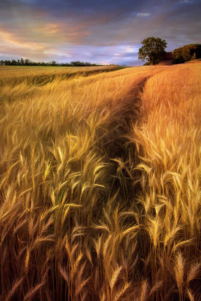 Wall Art - Photograph - Amber Waves Of Grain Blowing In The Wind by Debra and Dave Vanderlaan