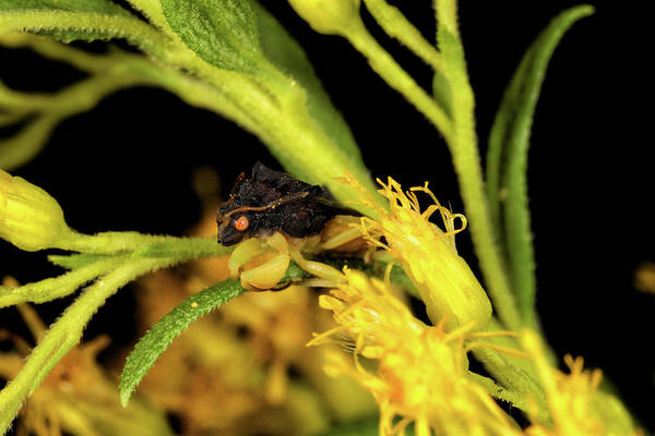 Photograph - Ambush Bug by Rick Veldman