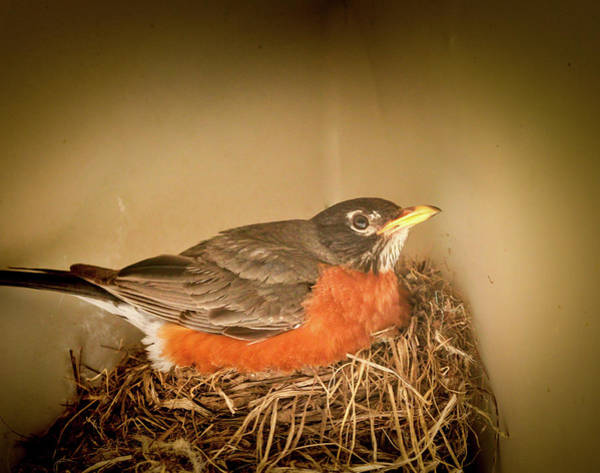 Photograph - America Robin by Nick Mares