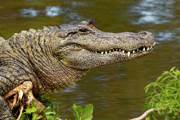 Gator Photograph - American Alligator Sunning by Adam Jones