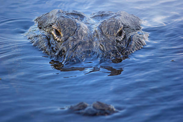 Wall Art - Photograph - American Alligator Up Close by Mark Andrew Thomas