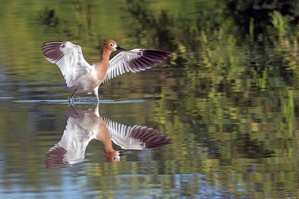 Photograph - American Avocet 2383-052619 by Tam Ryan