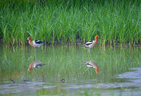 Photograph - American Avocet Pair by Anthony Jones