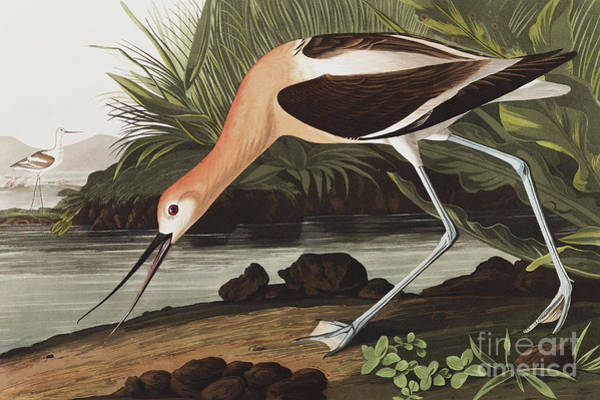 Wall Art - Painting - American Avocet, Recurvirostra Americana By Audubon by John James Audubon