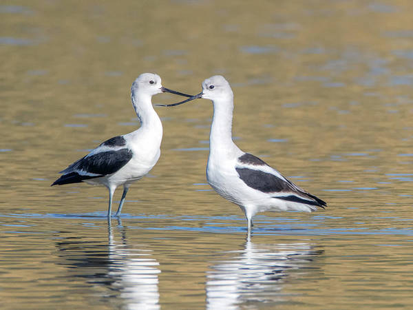Photograph - American Avocets 3563-112317-1cr-c by Tam Ryan