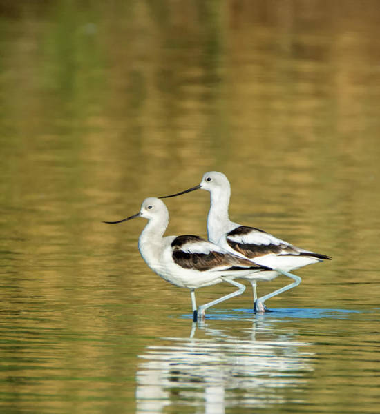 Photograph - American Avocets 8113-110318-1cr by Tam Ryan