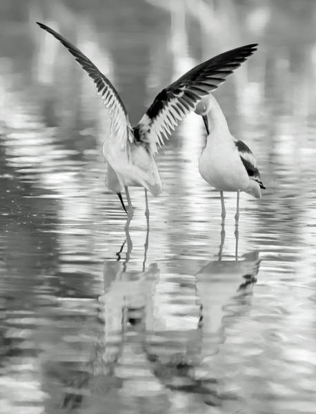 Photograph - American Avocets 8674-110818-2cr-bw by Tam Ryan
