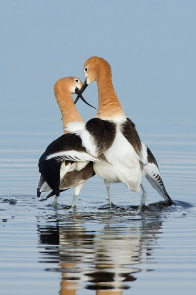 Courtship Photograph - American Avocets, Courtship Dance by Ken Archer