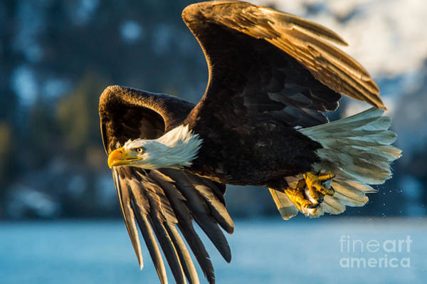 North American Wildlife Wall Art - Photograph - American Bald Eagle Catching A Fish In by Floridastock