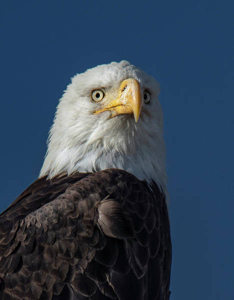 Photograph - American Bald Eagle Portrait by Rick Mosher