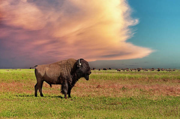 Photograph - American Bison At Sunset by Mike Hill