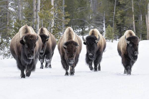 Struggle Wall Art - Photograph - American Bison by David Osborn