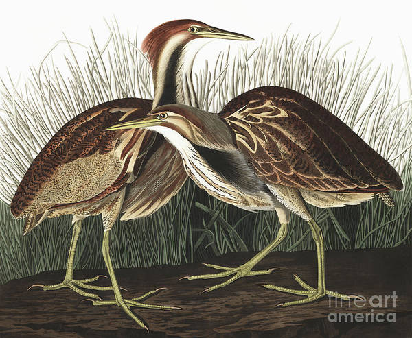 Wall Art - Painting - American Bittern, Botaurus Lentiginosus By Audubon by John James Audubon
