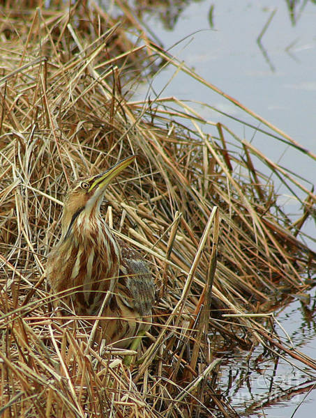 Photograph - American Bittern by Debbie Stahre