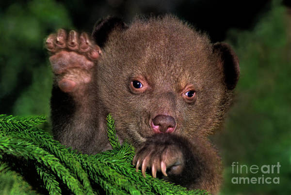Photograph - American Black Bear Cub Wildlife Rescue by Dave Welling