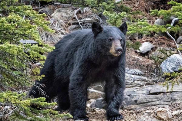 Photograph - American Black Bear, No. 1 by Belinda Greb