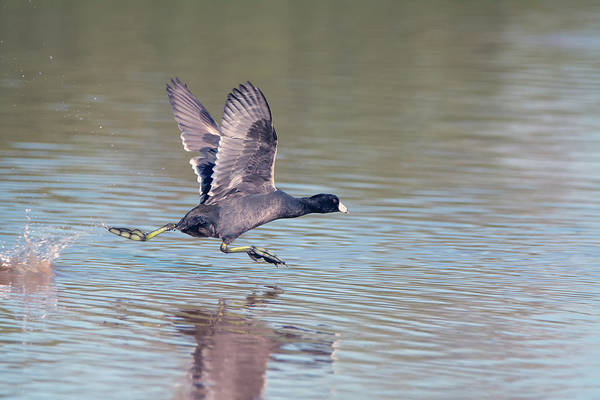 Photograph - American Coot 7470-110118 by Tam Ryan