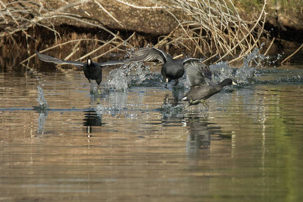 Photograph - American Coot Chase 0506-010719 by Tam Ryan
