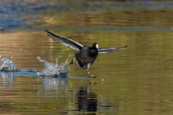 Photograph - American Coot Chase 0513-010719 by Tam Ryan