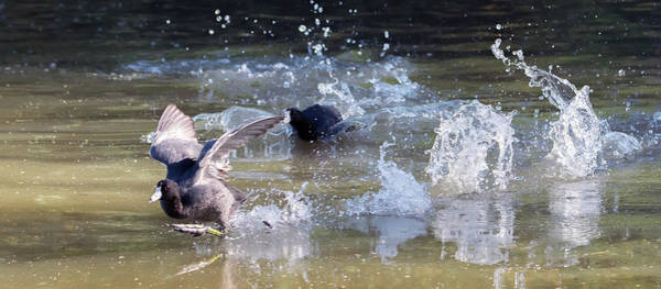 Photograph - American Coot Chase 8408-042619-3cr by Tam Ryan