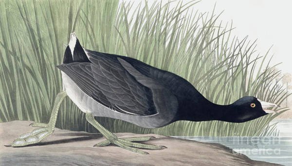 Wall Art - Painting - American Coot, Fulica Americana By Audubon by John James Audubon