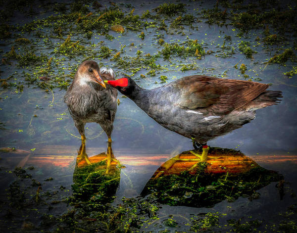 Photograph - American Coot by Pete Rems