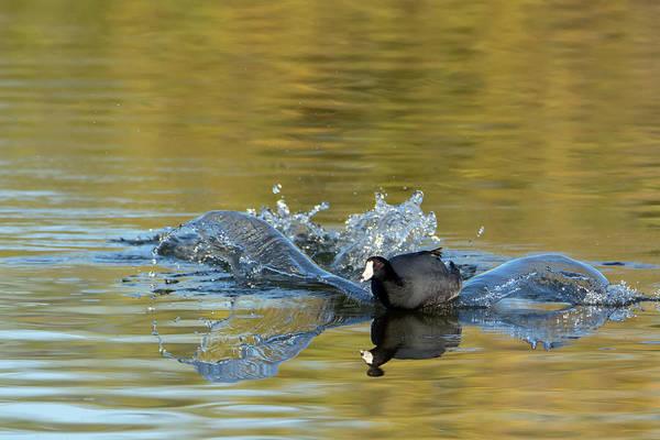 Photograph - American Coot Splash Landing 0483-010719-1 by Tam Ryan