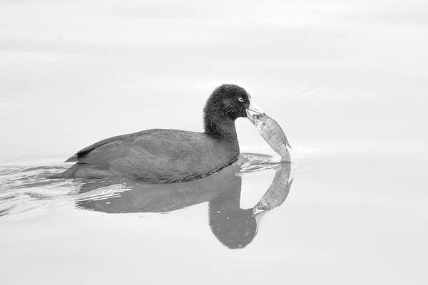 Photograph - American Coot With Fish 6028-113017-3cr-bw by Tam Ryan