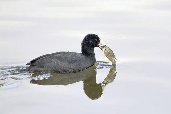 Photograph - American Coot With Fish 6028-113017-3cr-color by Tam Ryan