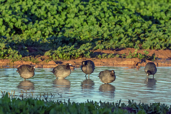 Photograph - American Coots 6244-121818-1 by Tam Ryan